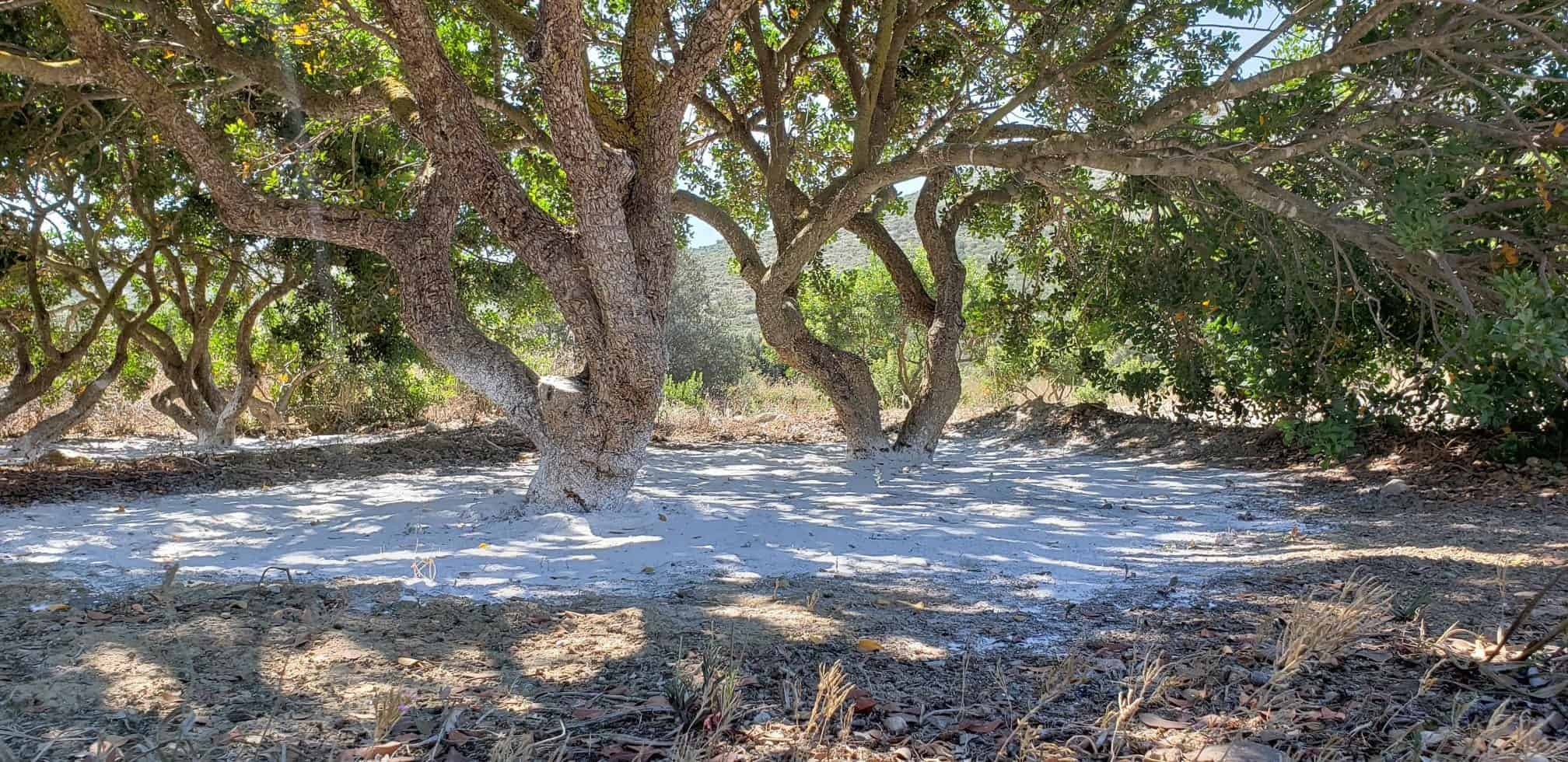 Chios - mastiha trees and roots with thick white powder that protects them from dirt and diseases