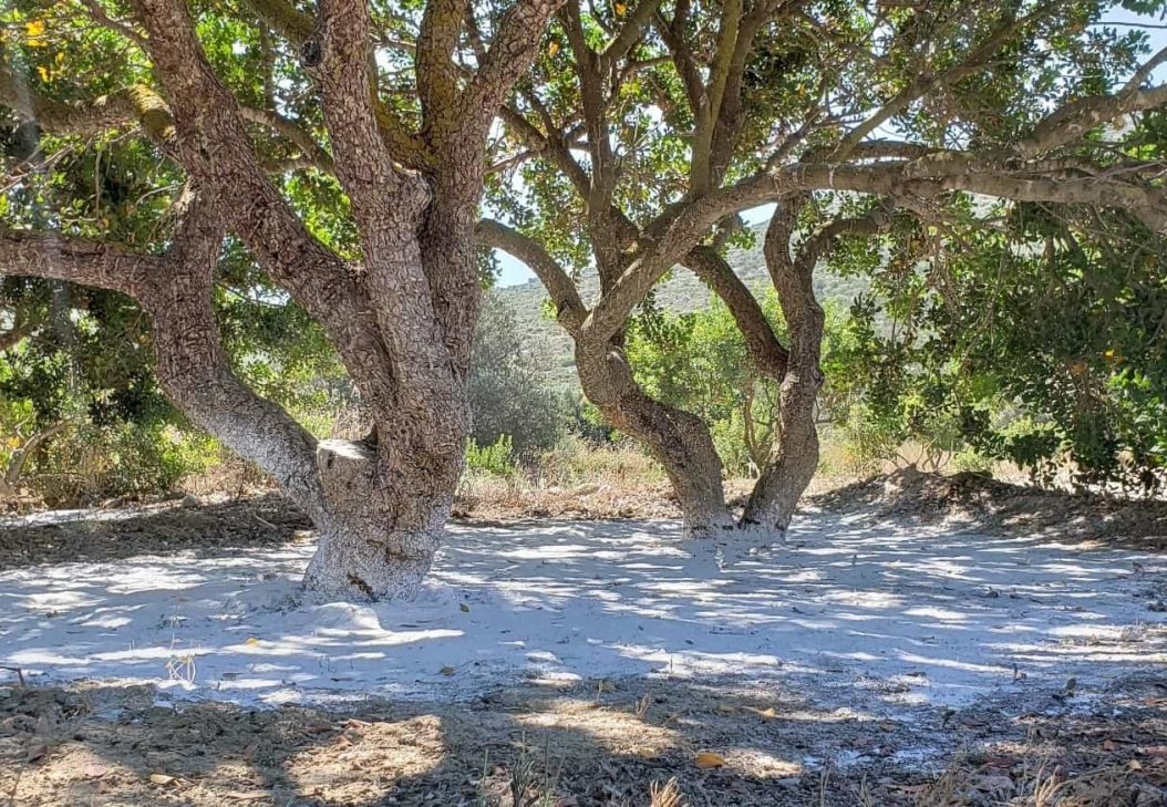 mastiha tree trunks with white powder around the base in a field in a summer day in Chios Island Greece