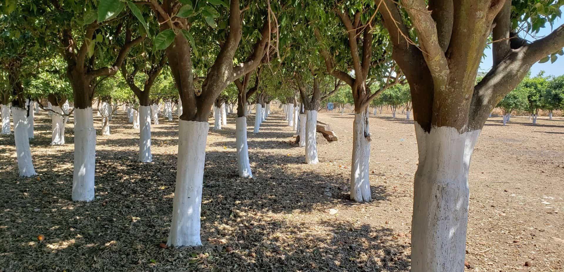 line of mastiha trees in chios island citrus museum in Greece