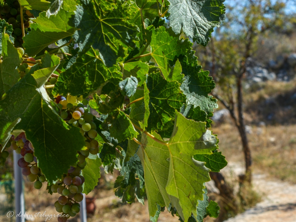 vines in Vamos Fabrica in Crete Island Greece