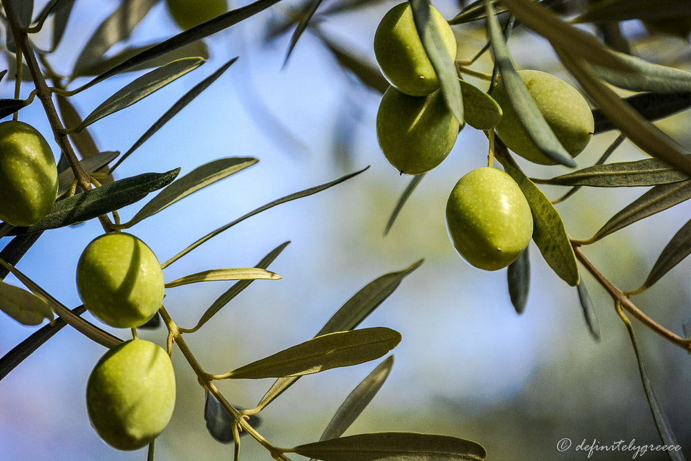close up of branch with olives green sunny day Greece