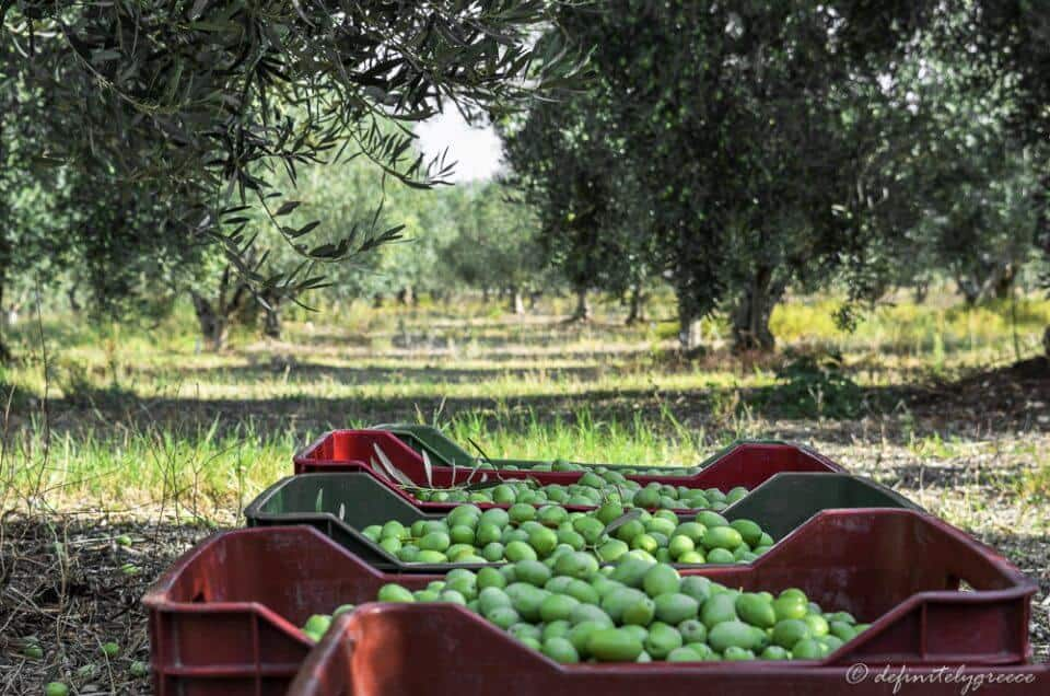 olives in boxes halkidiki Greek summer
