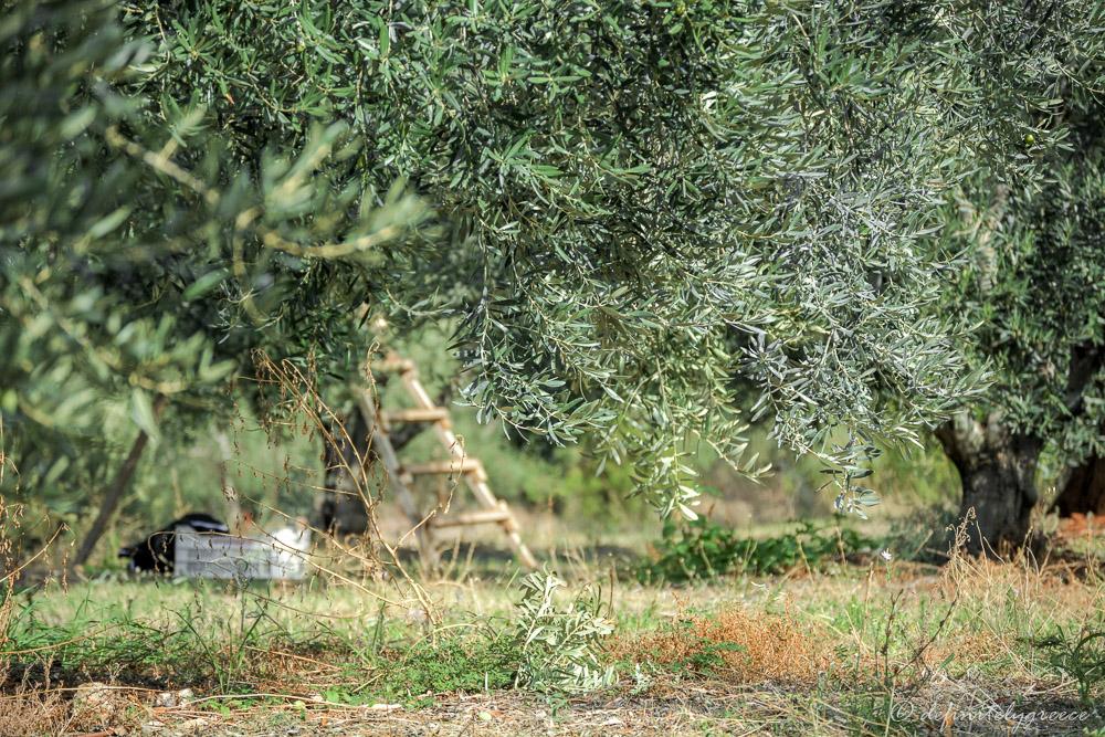 olive trees Halkidiki field nature