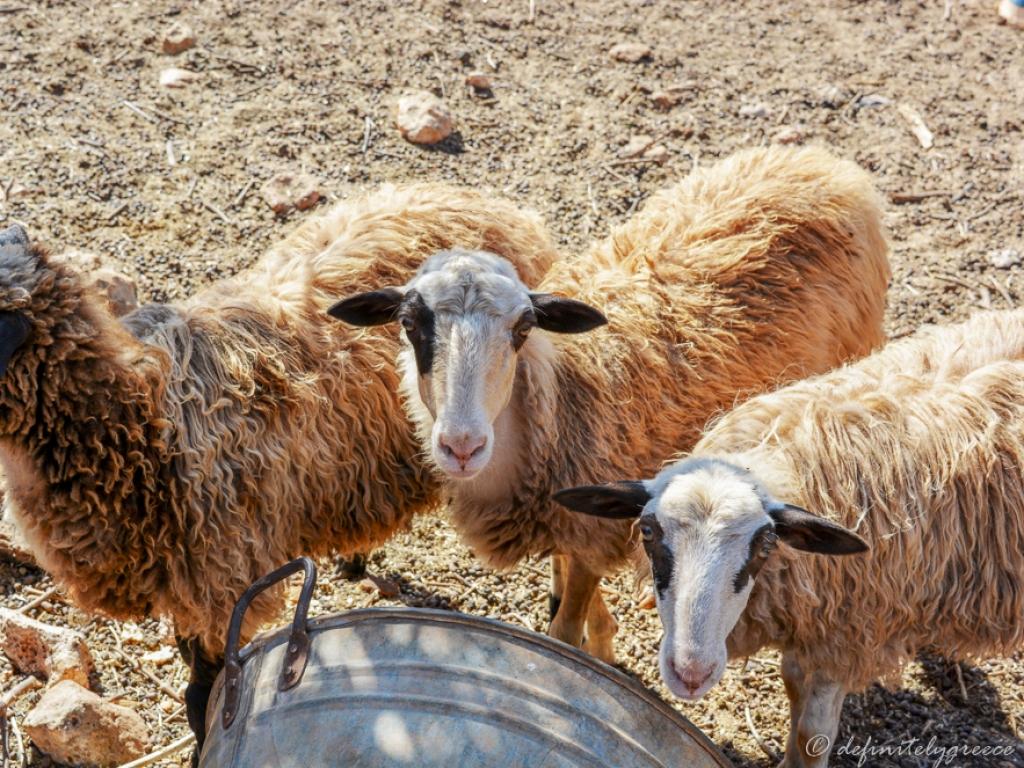 sheep-crete-vamos-fabrica